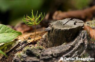 _DTR3684_Spruce_germinating._resize_copy