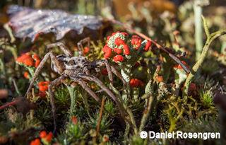 Spider and lichen. Lieberose, Brandenburg, Germany. © Daniel Rosengren