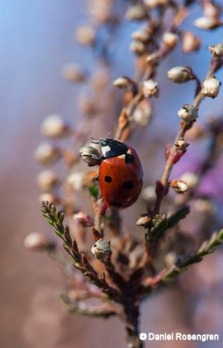 Ladybug on Common Heather. Lieberose, Brandenburg, Germany. © Daniel Rosengren