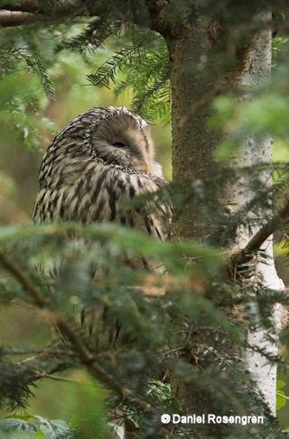 DTR_1579_Ural_Owl._resize_copy