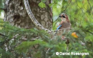 Eurasian Jay in the Bayerischer Wald NP, Germany. © Daniel Rosengren